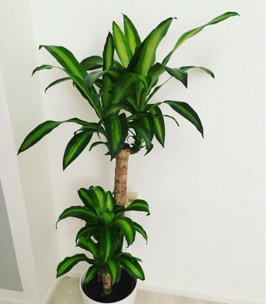 Cornstalk dracaena (Dracaena fragrans) or Massangeana | 15 Beautiful House Plants That Can Actually Purify Your Home