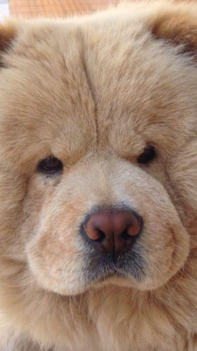 Ia Mia Piccola Gio Gio Chowchowdog Chow Chow Dogs Fluffy Dogs