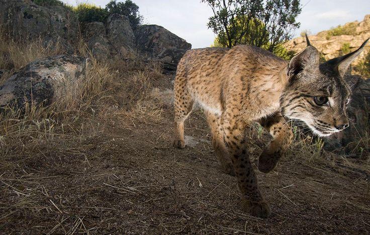 Iberischer Luchs: Hoffnung für eine der seltensten Katzen der Welt  2002 gab es nicht einmal mehr 100 ihrer Art in freier Wildbahn, jetzt sind es wieder 404! Der Iberische Luchs, auch Pardellluchs genannt, ist die kleinste Luchsart der Welt und gleichzeitig die am meisten bedrohte. ...