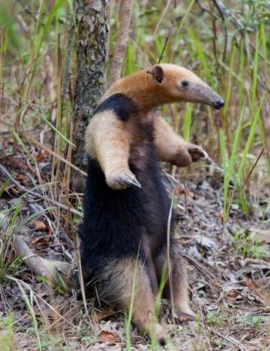 El oso melero (Tamandua tetradactyla) es una especie de tamandúa nativa de Sudamérica. Habita las selvas y sabanas áridas, alimentándose de hormigas, termitas y abejas.  Al sentirse amenazado, produce un olor 4 a 6 veces más fuerte que el del zorrillo.