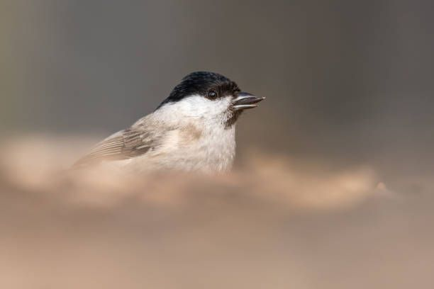 the marsh tit