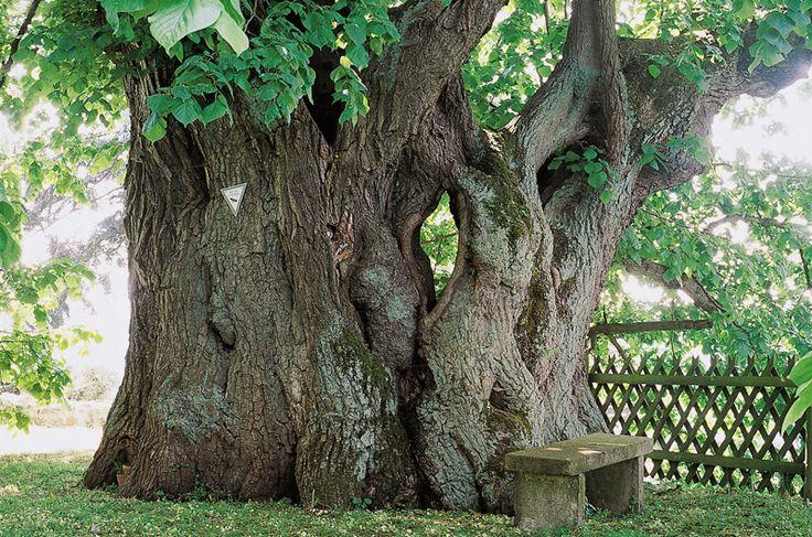 Jahrhundertealte Bäume wirken erhaben und geheimnisvoll. Könnten sie Geschichten aus ihrem Leben erzählen, dann würden ihre Berichte ganze Bibliotheken füllen. Deutschlands alte Bäume: