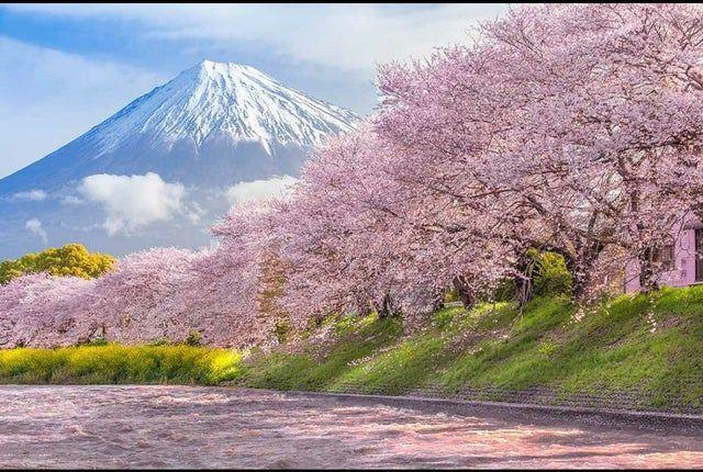 Https Www Reddit Com R Interestingasfuck Top T Month Cherry Blossom Japan Mount Fuji Japan Spring