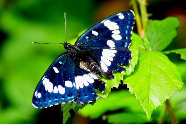 Laat ergens in de #tuin een bos #brandnetels staan. Hier komen veel vlinderrupsen op af, zo heb je in de #zomer veel vlinders in je tuin #Tip Meer tips? www.hulpstudent.nl
