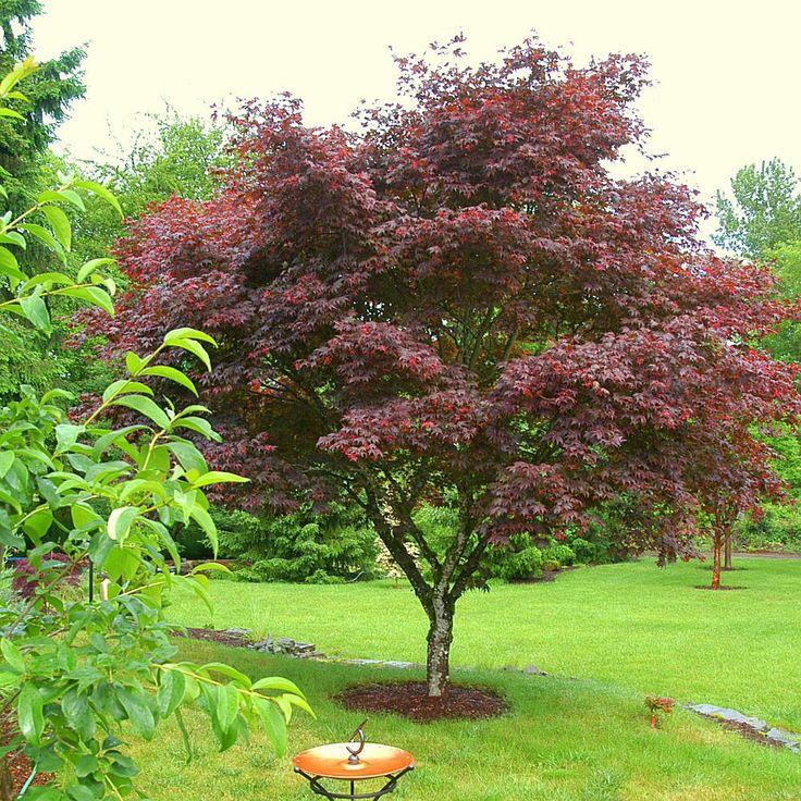 Small Ornamental Trees Oregon: 17 Best Ideas About Japanese Maple Trees On Pinterest