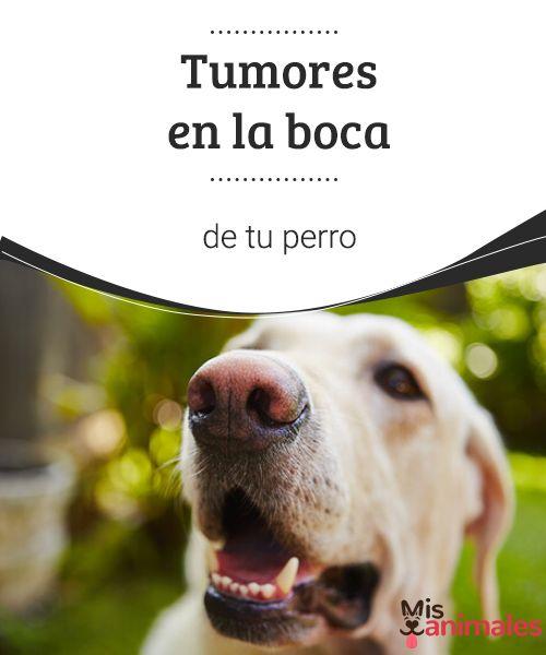 Tumores en la boca de tu perro  Descubre cómo actuar si encuentras tumores en la boca de tu perro y qué problemas puede provocar en el canino y en su salud fisiológica. #salud #boca #perro #tumores