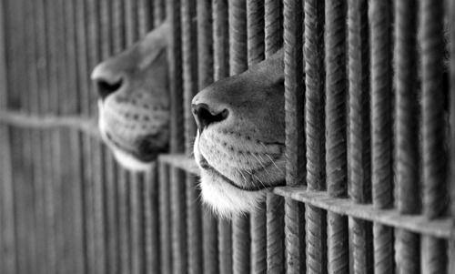 <3<3: Big Cat, Lion, Born Free, Mothers Earth, Zoos, Kitty, Beautiful Creatures, Animal, Bigcat