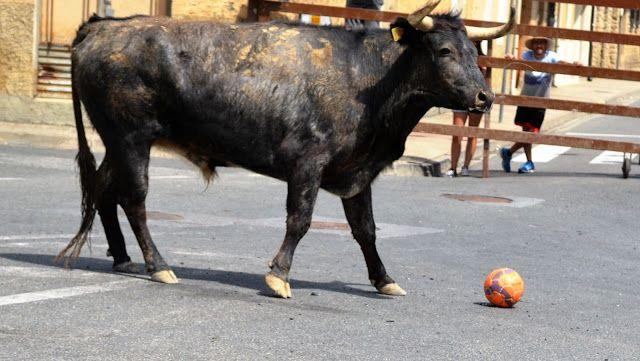 Santacara: Vacas de Pedro Domínguez de Funes (2)