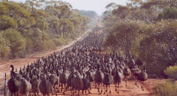 Emus at the state barrier ( rabbit proof fence) are deflected from farming land. Image from W.A Dept. Of Agriculture & Food. Emu's migrate in large numbers about every 7th year.