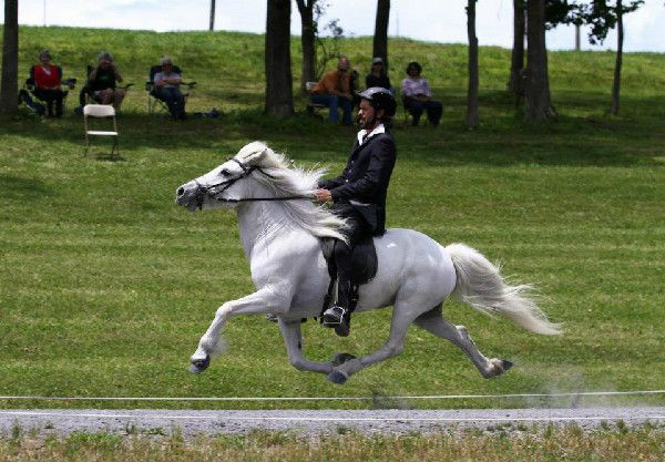 Gudmar Petursson performs the flying pace at an Icelandic Horse show
