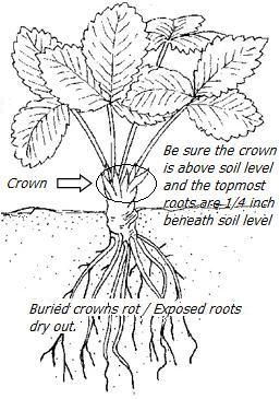1000  ideas about strawberry planting on pinterest
