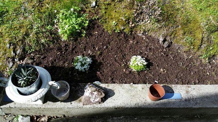 Sildre - Steinbedsplante + div frø
