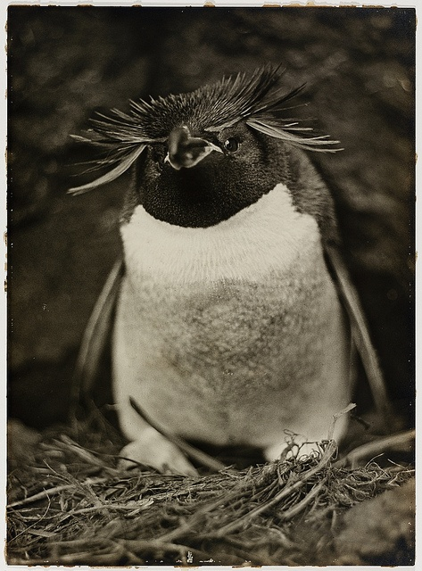 Sclater penguin, from an Exhibition of pictures taken during the Australasian Antarctic Expedition and other photographic studies by Frank Hurley, 1911-1914.  Find more detailed information about this photographic collection: http://acms.sl.nsw.gov.au/item/itemDetailPaged.aspx?itemID=17777  From the collection of the State Library of New South Wales http://www.sl.nsw.gov.au