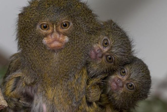 Pygmy Marmoset Monkey  with twin baby's (DwergzijdeAapje)