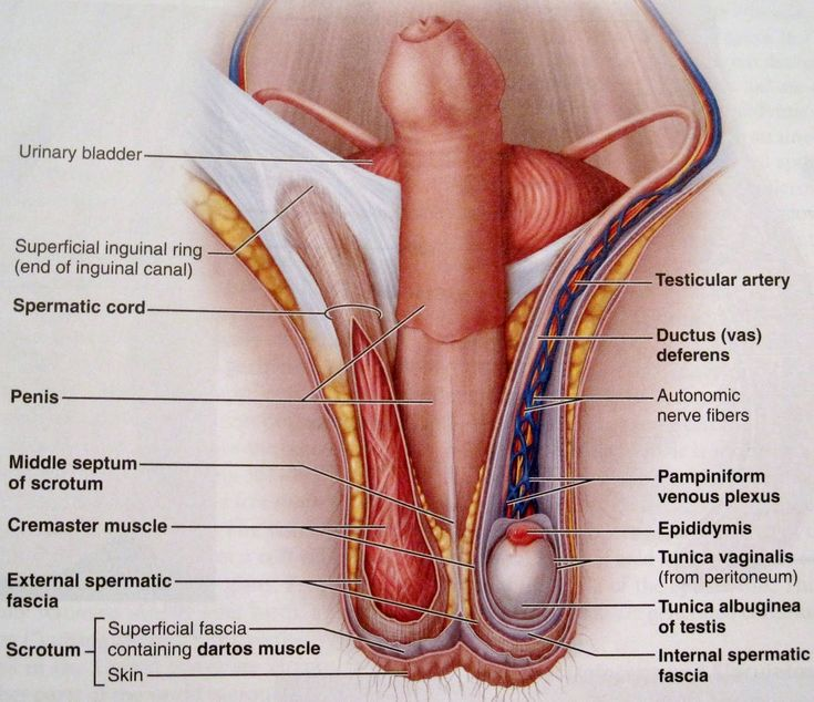 Sex organs of the body