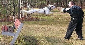 The American Bulldog Scott type is capable of many tasks.