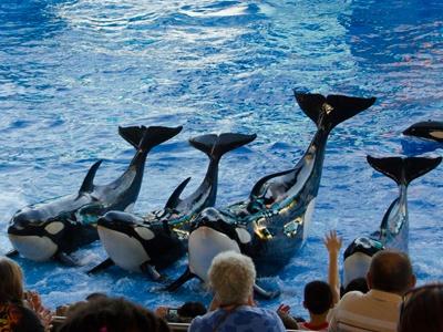 Le spectacle des épaulards, au SeaWorld, est particulièrement couru. Isabelle Laflamme / Agence QMI
