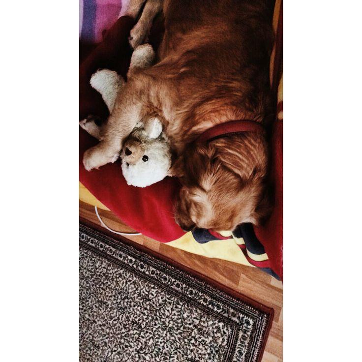 #sleep #goldenretiever #galatasaray
