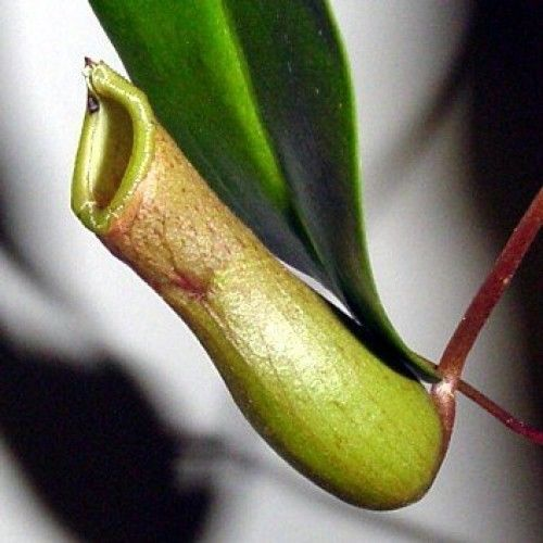 Asian-Pitcher-Plant-Nepenthes-Carnivorous-Exotic-6-Hanging-Basket