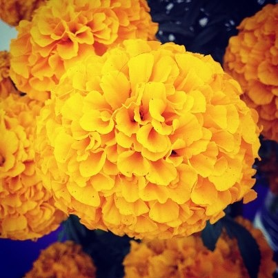 Flores del Dia de Muertos - Cempasuchil