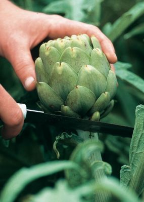 Growing and harvesting artichokes