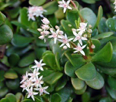 flor blanca planta de jade