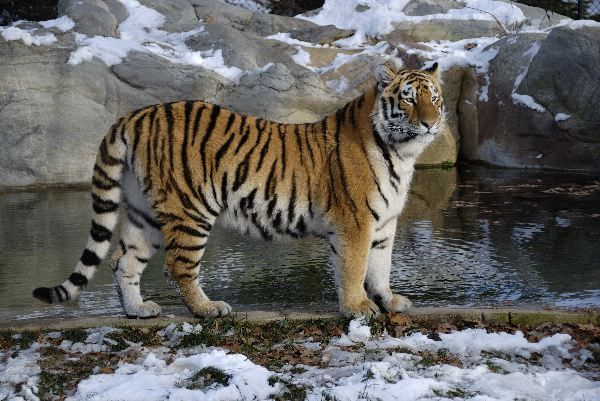 characteristics of the bengal tiger The bengal tiger (panthera tigris tigris or panthera tigris bengalensis) is sometimes known as the royal bengal tiger and is a subspecies of tiger the bengal tiger is the second largest and the most common tiger subspecies.