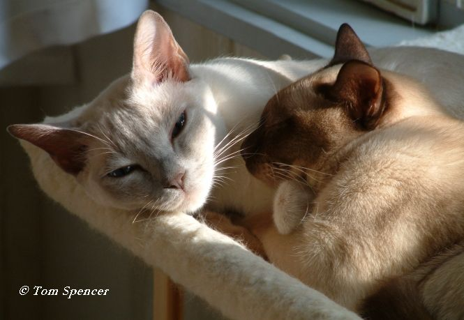 Tonkinese cats Issa and Basho in their hammock by the window, by Tom Spencer