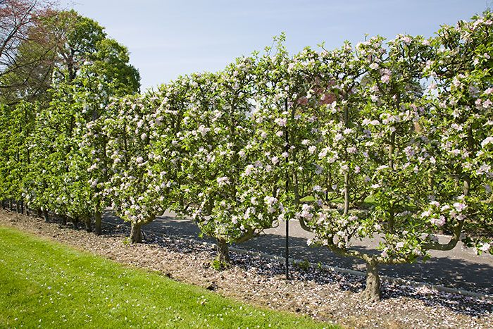 143 best images about espalier fruit trees on pinterest - Arbre fruitier en espalier ...