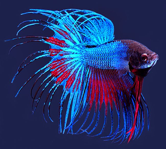 Siamese Fighting Fish Other Beautiful Creatures