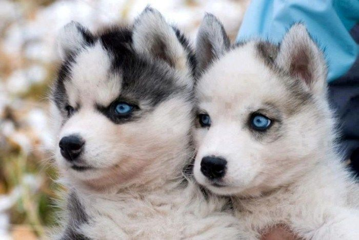 "pomskies What Do You Know about the Latest Hybrid Dog ""Pomsky""?"