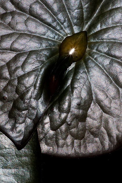 Leather Leaf by janet little