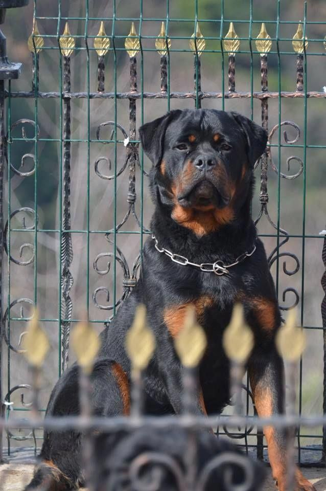 Tumblr In 2020 Dog Training Rottweiler Dog Breeds