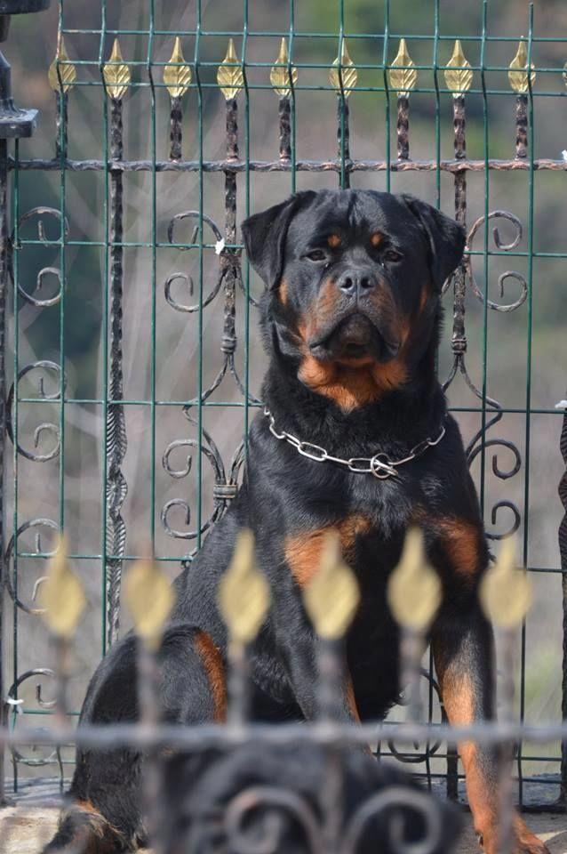 Tumblr In 2020 Dog Training Rottweiler Dog Breeds