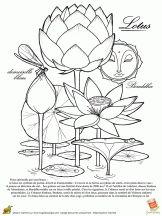 lotus fleur spirituelle