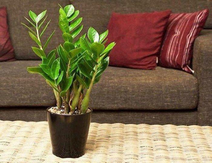 Прекрасное, вечнозеленое растение с блестящими, мясистыми тёмно-зелёными листьями. При хорошем уходе растение достигает до 1- 1,5 метра в длину и уже успело зарекомендовать себя как одно из самых красивейших иЧитать полностью… Продолжить чтение...