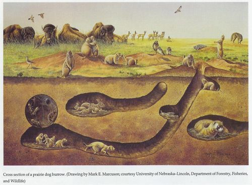 Prairie dog burrow diagram