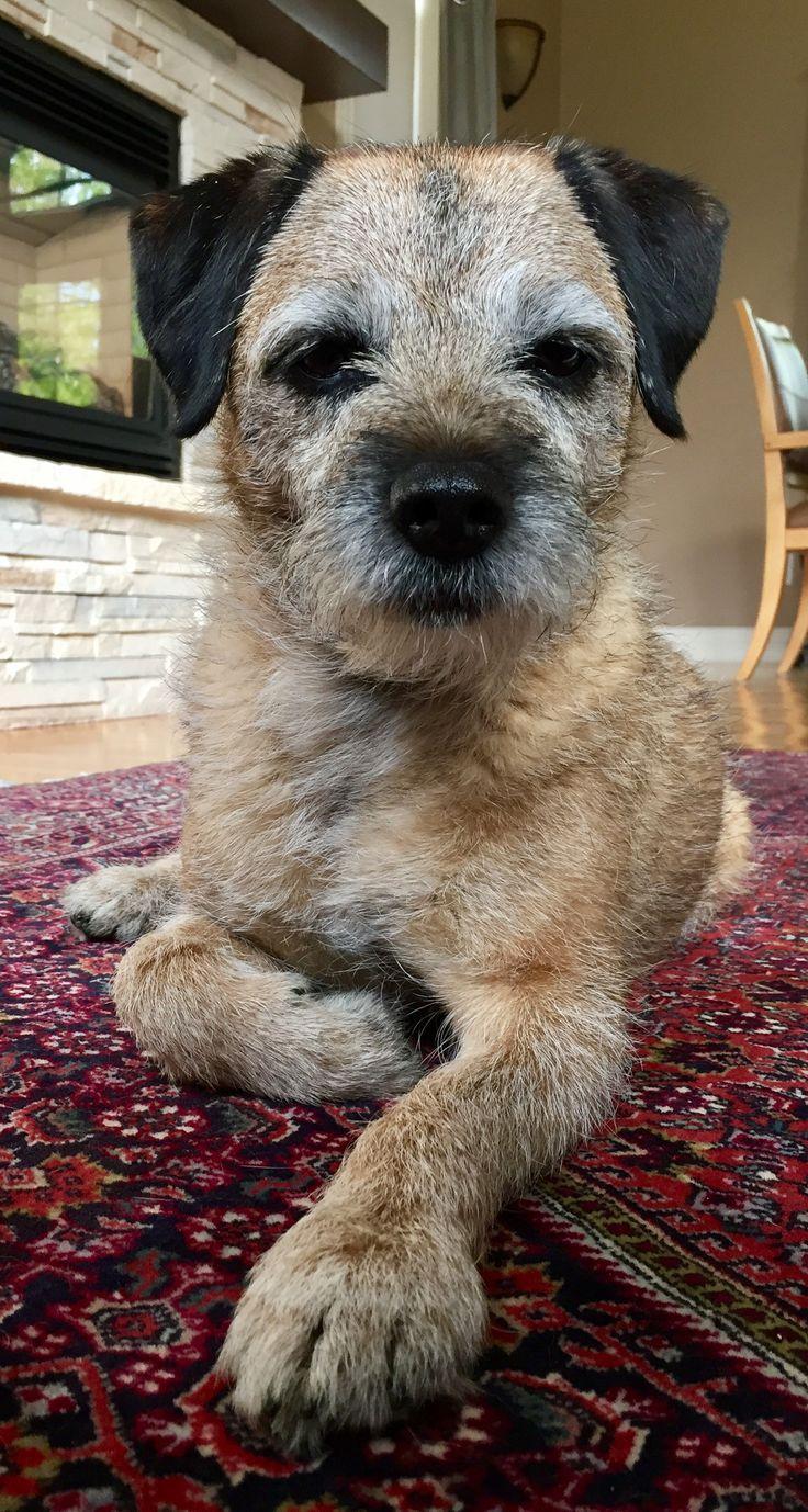 12 best Border Terrier images on Pinterest | Animal paintings ... | Border Terrier Puppies For Sale Utah
