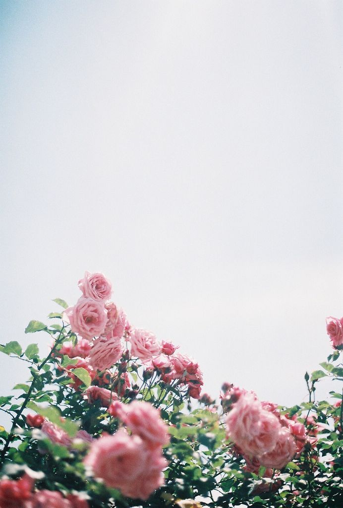 Pretty pink roses and pretty, sunny day.