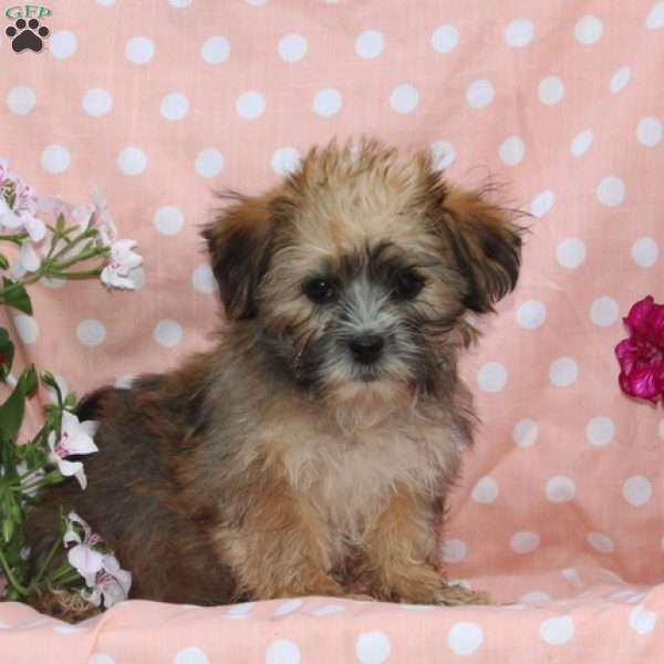 Buster Shorkie Puppy For Sale In Maryland Shorkie Puppies For