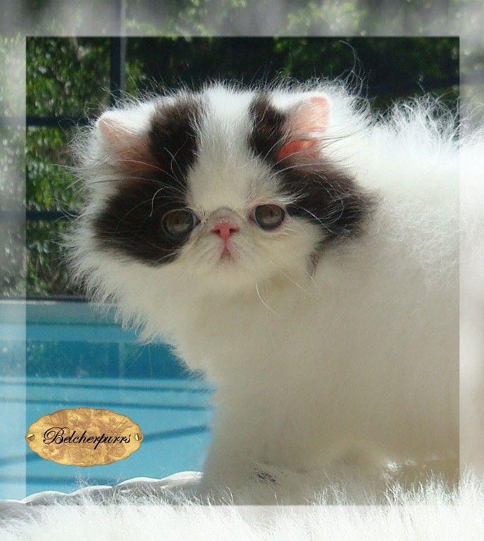 ... Craigslist Pets Eugene Oregon under exotic shorthair kittens oregon