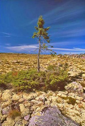 Un épicéa de 9500 ans en Suède