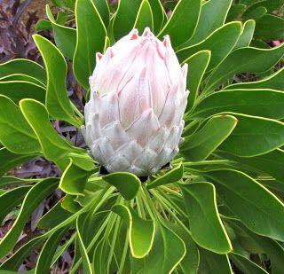 White protea flower