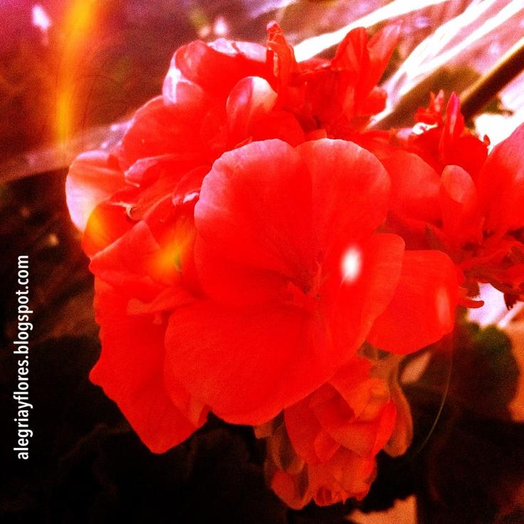 Geranio .   http://alegriayflores.blogspot.com.es/