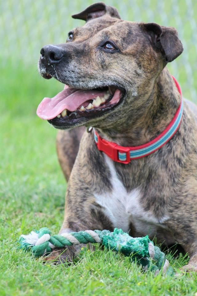 Meet Patti, a Petfinder adoptable Pit Bull Terrier Dog | Buffalo, NY | Patti came into the Brant County SPCA in Canada as a stray in July. She had been abandoned, and...