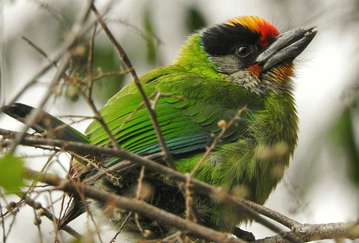 golden throated barbet