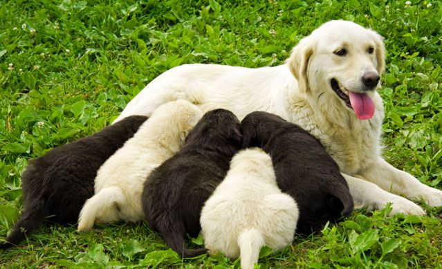 How Do I Know If My Dog is Pregnant | Dog's Prenancy