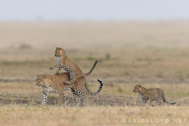 David Lloyd Wildlife Photography Free Ride (for one only) A special moment from yesterday during our Big Cat Photo Safari season here in the Maasai Mara.