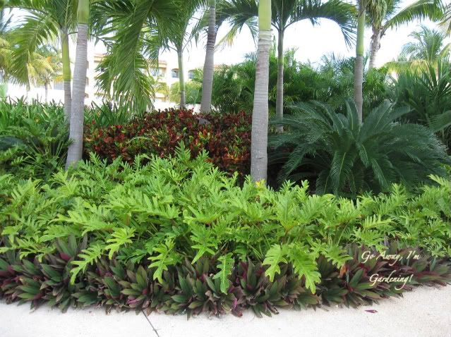 I thought this was the best display of color on the grounds. The oyster plant was used as a border and the chartreuse added a pop of color. Corkscrew croton was planted between the palms.