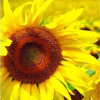 Move over coconuts, sunflower oil is just as awesome too. 21 Best Benefits Of Sunflower Oil For Skin, Hair And Health